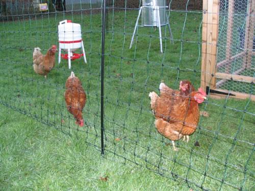 пластиковый забор рабица для выгула кур