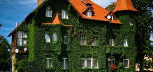 Озеленение стен дома — не только фасадный декор