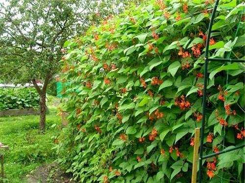 декоративная фасоль для озеленения дома