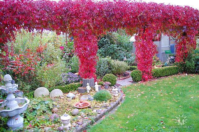 дивичий винный виноград как озеленение стен дома
