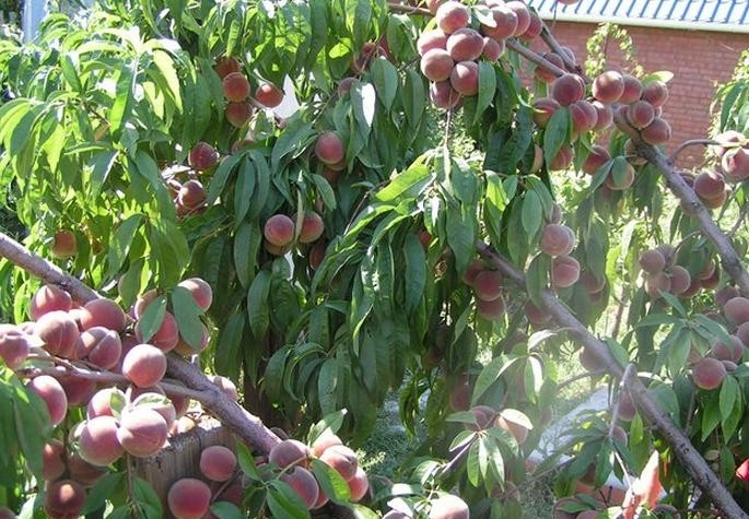 Посадить персик