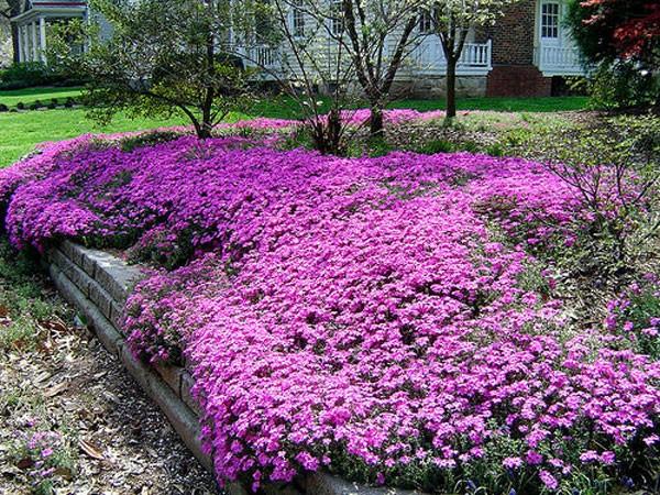 Розовый газон из флокса