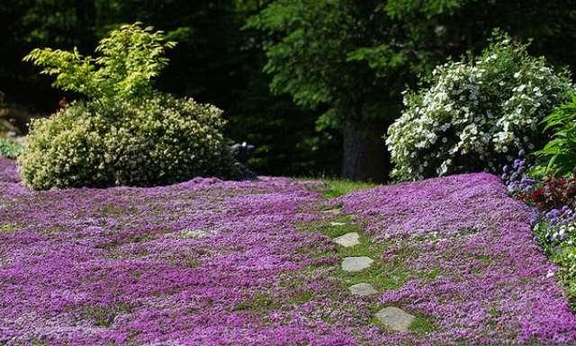 Розовый газон