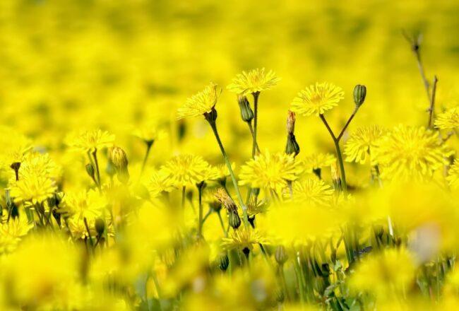 Много желтых одуванчиков